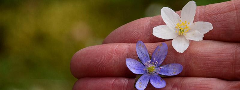 Voorjaarsbloemen Scandinavie